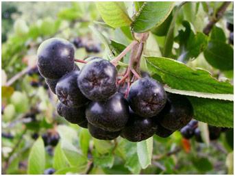 Зрелые плоды Аронии черноплодной